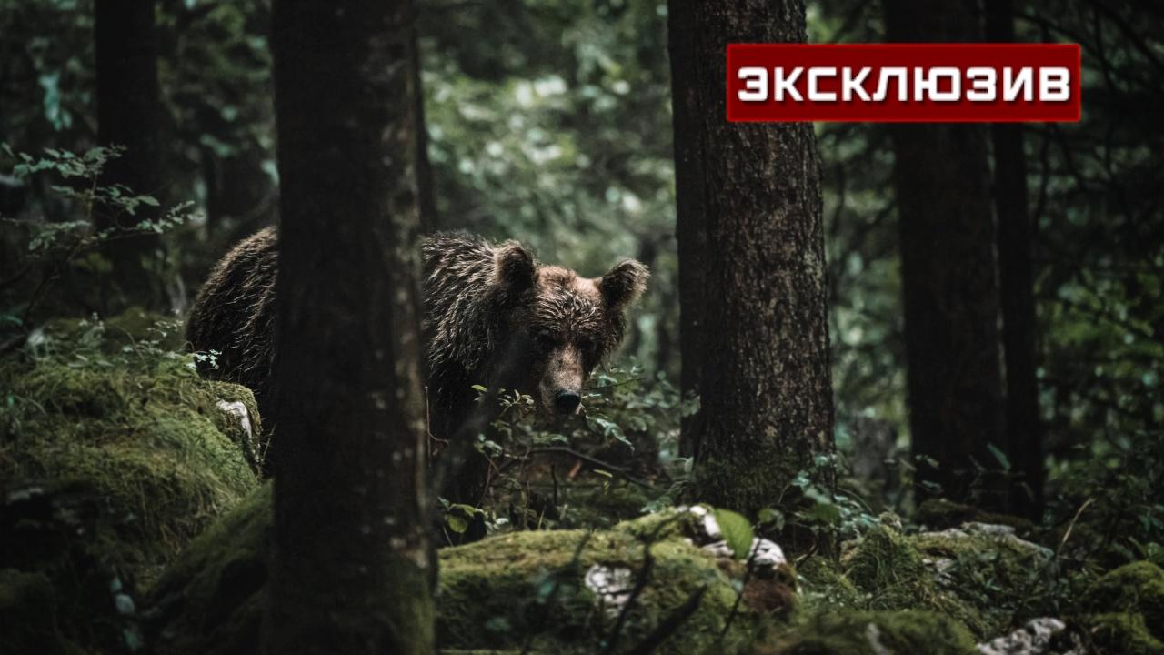 «Медведю есть нечего»: в парке под Красноярском назвали главную версию нападения зверя на людей