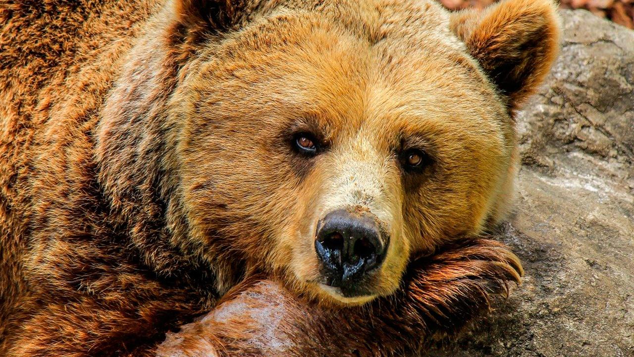 Названа предварительная причина нападения медведя на туристов в Красноярском крае
