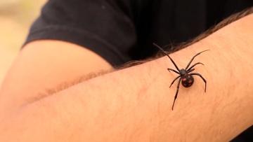 Черная вдова атакует: десятки жителей Волгоградской области попали в больницы после укусов пауков