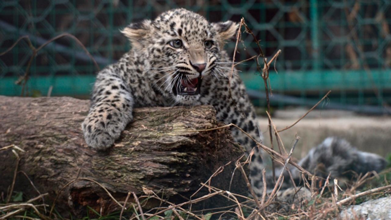 Два детеныша появились на свет в Центре восстановления леопардов на Кавказе