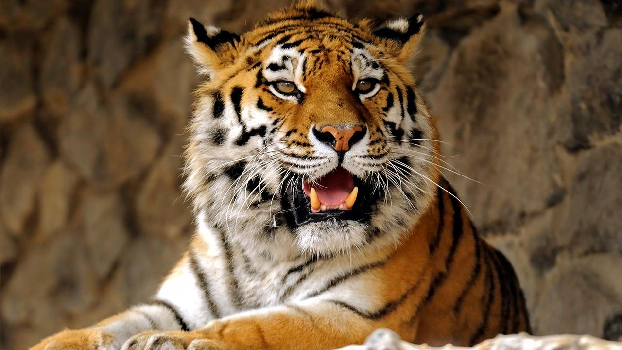 Амурских тигров и дальневосточных леопардов спасли от исчезновения, заявили в WWF России
