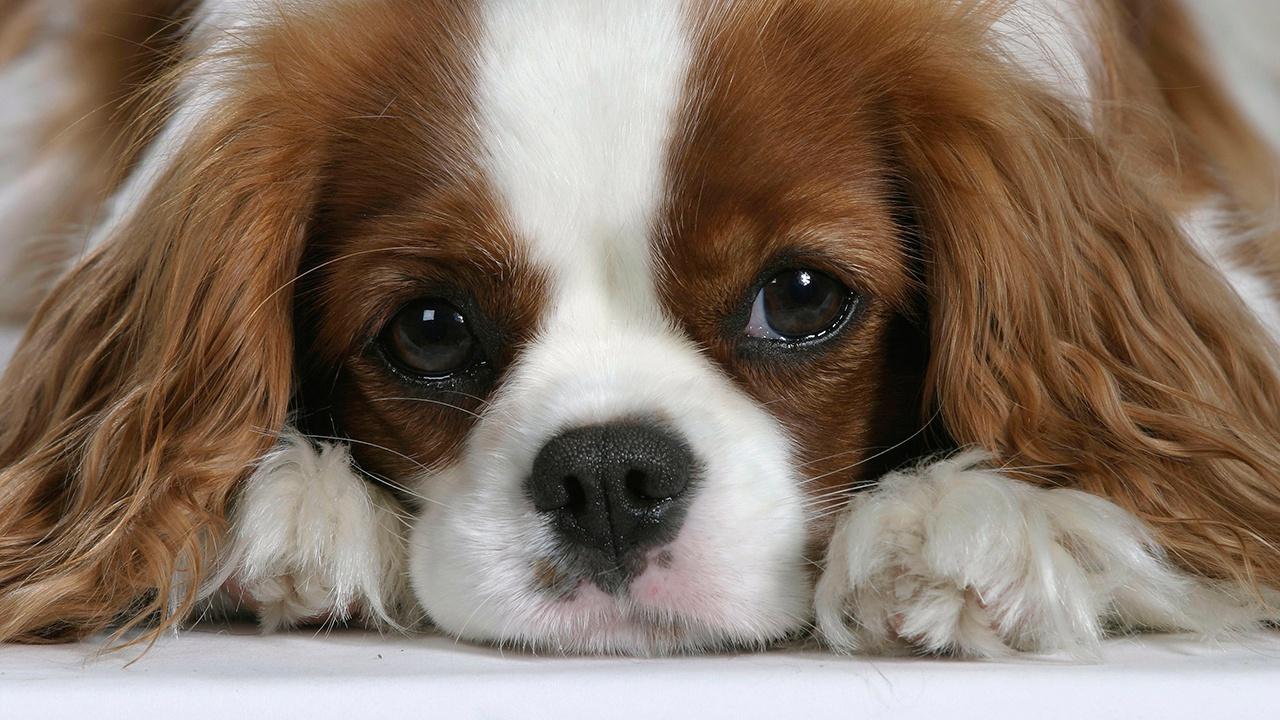 Ученые назвали самую болезненную породу собак