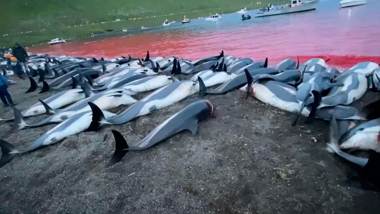 Эколог заявил, что массовое убийство дельфинов на Фарерах не является глобальной экологической катастрофой