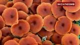 Смертельно ядовитый гриб-близнец опенка наводнил Подмосковье из-за потепления