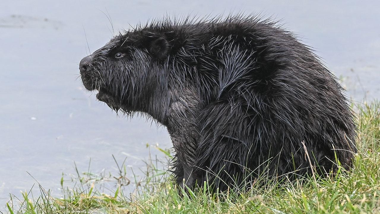 В Монголии зафиксировали первые случаи смерти животных от COVID-19