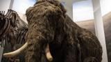 Ученые собрались воскресить мамонтов и заселить ими сибирскую тундру