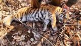 Амурского тигренка спасли из капкана в Приморье